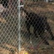 Stock Video: Caged pit bull barks at neighbors.