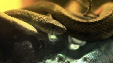 A snake suns itself on a fallen tree branch. — Stock Video