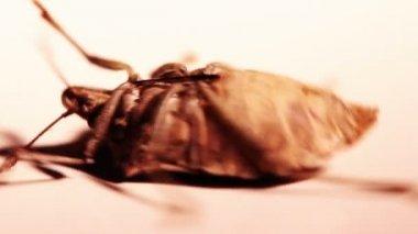 Close-up of a stink bug (pentatomoidea species). — Stock Video #15608917