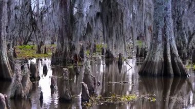 Bald Cypress Trees — Stock Video
