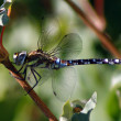 Dragonfly - Migrant Hawker - Aeshna mixta — Stock Photo