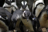 Group of penguin — Stock Photo
