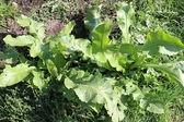 Plant horse-radish — Stock Photo