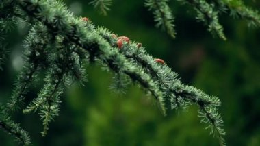 Blue spruce branches — Stock Video