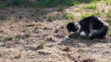 Cat playing with hunted locust — Vidéo