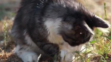 Cat playing with hunted locust — Stock Video