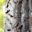 Stock Video: Trunk of tree with exfoliated bark