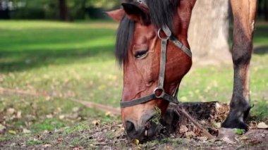 Utnyttjas häst som betar på ängen — Stockvideo