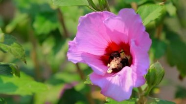 Bumblebee collecting nectar of a pink flower. — Stock Video