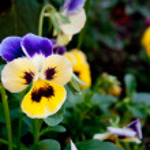 Purple and yellow pansy — Stock Photo