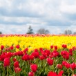 Tulips in a blooming field — Stock Photo
