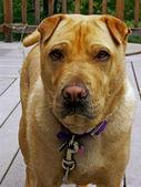 Alert dog — Stock Photo