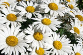 Bright daisies — Stock Photo