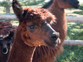 An alpaca (Vicugna pacos) — Stock Photo