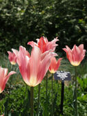 Fluted tulips — Stock fotografie