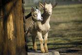 Two goats kids — Stock Photo