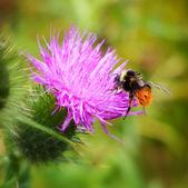 バンブレ蜂 — ストック写真