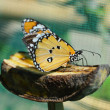 Beautiful Butterfly — Stok fotoğraf