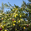 Olive tree with many fruits — Stock Photo