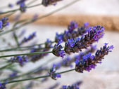Prachtige lavendels in de natuur — Stockfoto