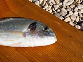 Gilthead fish close up — Stock Photo