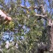 Young man picking olives fruits — Stock Video