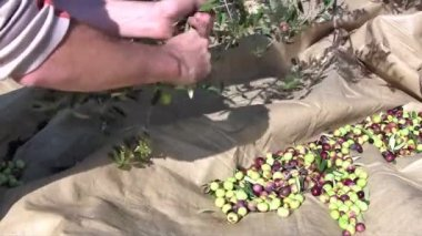 Man picking olives from tree — Stock Video