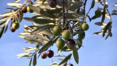 Olive fruits close up — Stock Video