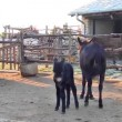Stock Video: Baby donkey on farm