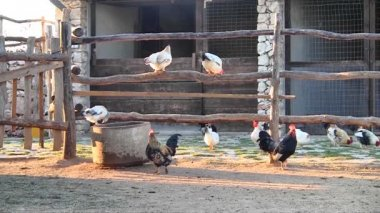 Chickens on the farm — Stock Video