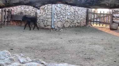 Small donkey running — Stock Video