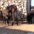 Stock Video: Donkey family