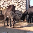 Four donkeys on the farm — Stock Video #13877892