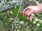 Kvinna plocka oliver — Stockfoto