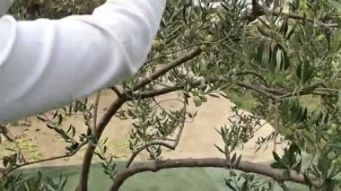 Woman picking green olives — Stock Video