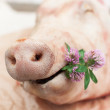 A Pig Holding a Small Bunch of Clovers, Snout of a Pig — Stock Photo