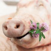 En svinuppfödningsanläggning ett litet gäng klöver, nosen av en gris — Stockfoto