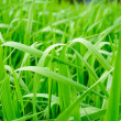 Green grass of a sedge - Stock Photo