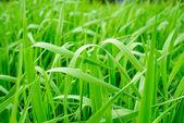 Green grass of a sedge — Stock Photo