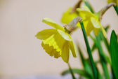 Flowering of narcissuses in a garden — Stock Photo
