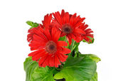 Red gerbera flower on white background — Stock Photo