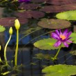 Water lilly — Stockfoto #37801099