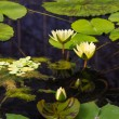 Water lilly — Stockfoto #37801105