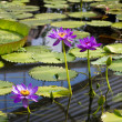 Water lilly — Stockfoto #39122387