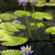 Water lilly — Stockfoto #39122401