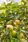 Apples on a tree — 图库照片