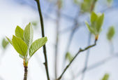 First leaves on a tree in spring — Stock Photo