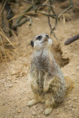 Meerkats mongoose observing — Stock Photo