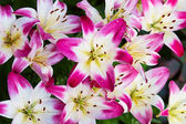 Lily flower background — Stock Photo