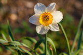 Daffodil narcissus spring flowers — Stock Photo